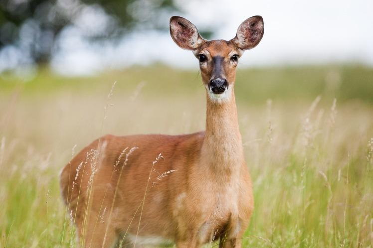 roe-deer-1367182_1920.jpg